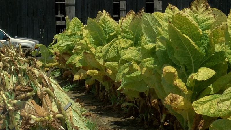 Tobacco farms like Scherm Farms are seeing a tobacco yield they haven't seen in years.