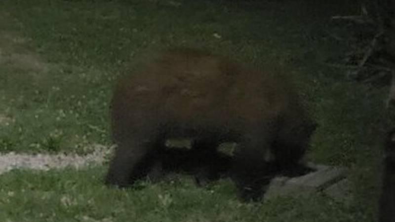 Photo of black bear spotted in June in Vanderburgh Co.