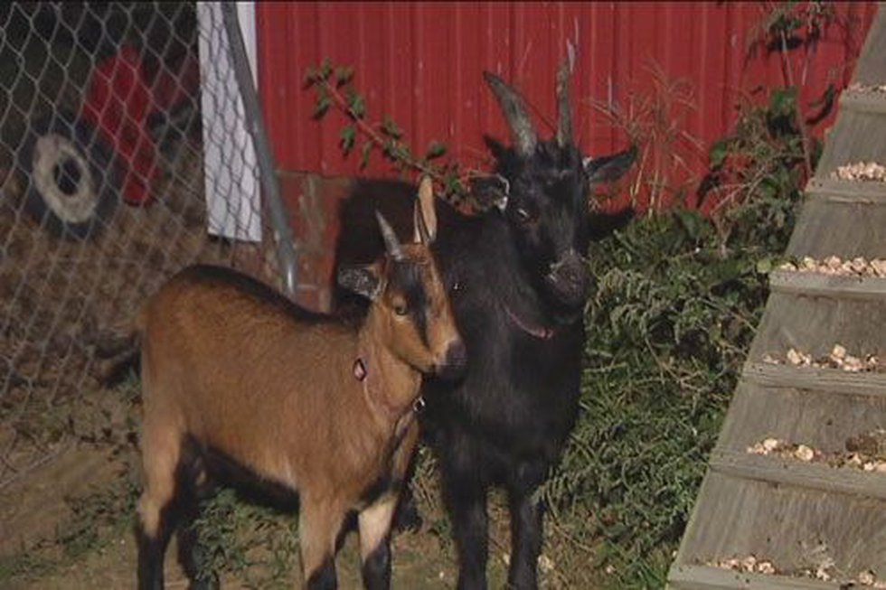 The guys say their pets were taken because of a city ordinance that bans all large animals,...