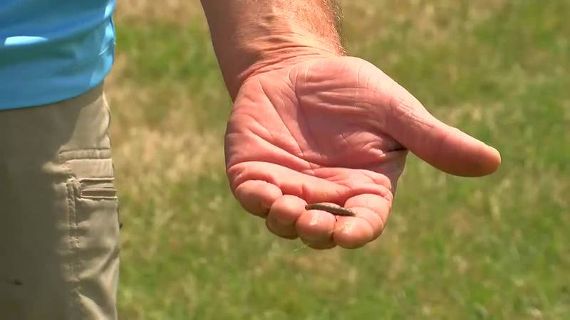 Army worm invasion causing lawn and crop damage across Tri-State