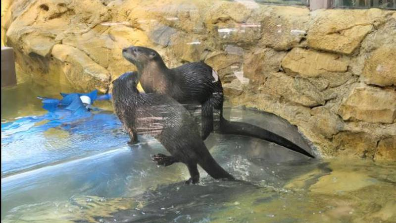New otters at Mesker Park Zoo