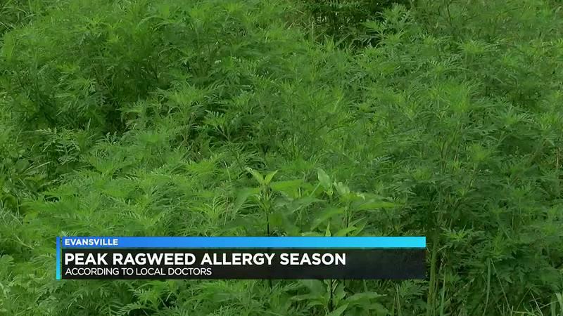 Ragweed allergies reaching its peak this season