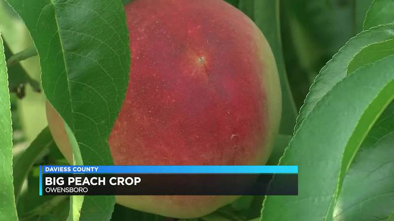 Good year for peaches at Owensboro orchard