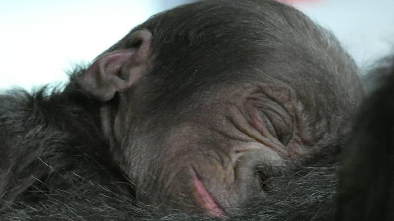 A western lowland gorilla was born July 13, 2021, at Disney's Animal Kingdom Theme Park at Walt...