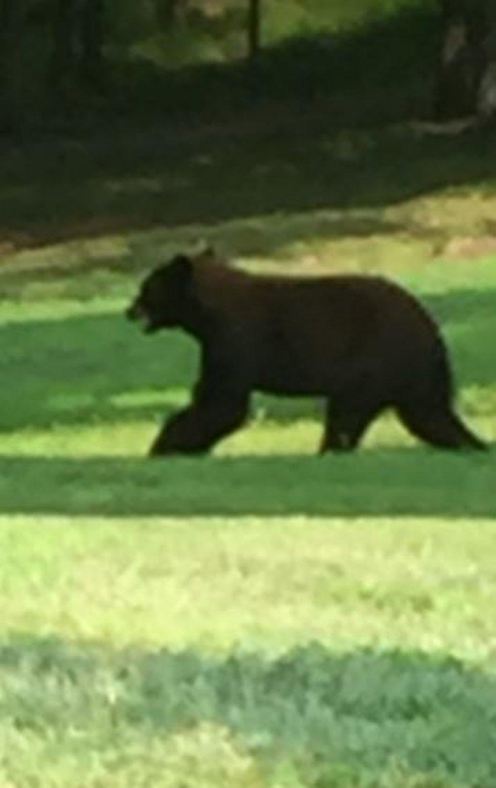 Bear sighting in Dixon