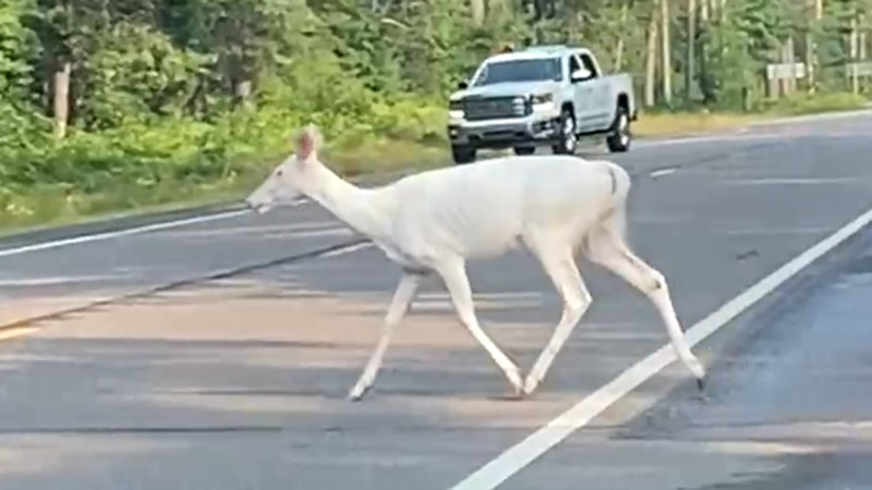 Brothers Brandon and Kyle Bushaw were driving in northern Wisconsin when a white deer stepped...